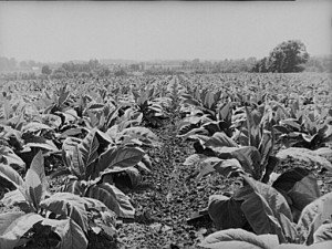 Tobacco field in Charles County, MD Library of Congress